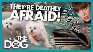 Maltese Trio Walk Sideways to Try and Avoid Storm Drains | It's Me or The Dog