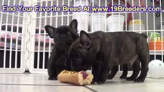French Bulldog, Puppies, For, Sale, In, Minneapolis, Minnesota, Mn, Inver Grove Heights, Roseville,