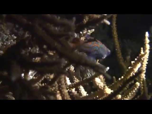 ニシキテグリの産卵