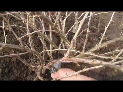Обрезка крыжовника весной