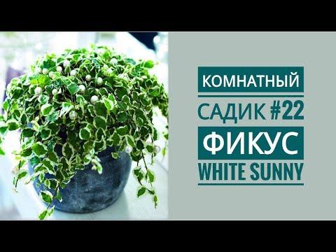 Комнатный садик #22 // ФИКУС Pumila White Sunny // Пересадка
