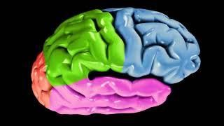 """Видео урок """"Анатомия полушарий большого мозга. Трехмерная модель"""""""