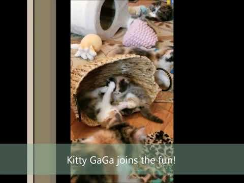 "RagaMuffin Cat World- ""Candi"" & ""Kitty Gaga"" Kittens for Adoption"
