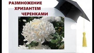 видео как размножить хризантему
