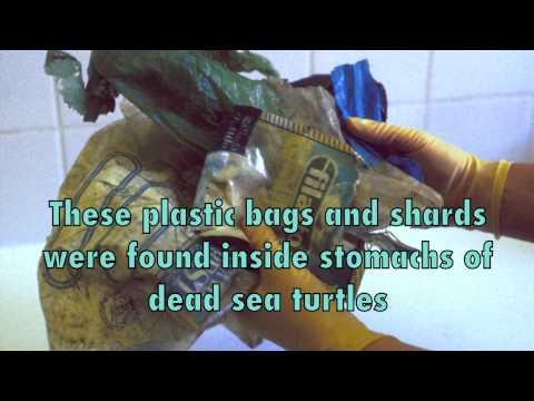 Endangered Leatherback Sea Turtles Threatened by Plastics