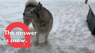 Husky dog shakes his head no and refuses to come inside from the snow | SWNS
