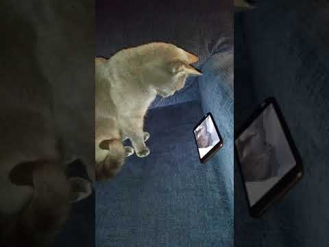 Winer the Korat Cat 15 years old reacting to Cat video