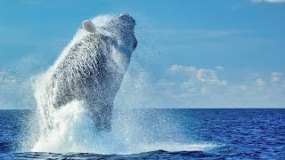 Magnificent HumpbackWhales - Life on the Silver Bank - Dolphin Tales 2/20