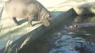 Funny Animal Video - Cute lazy Baby Hippo