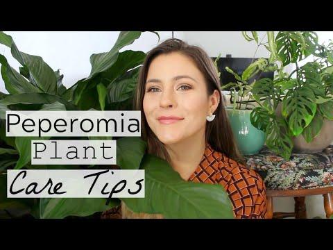 Peperomia Plant Care Tips & Tricks | Peperomia Houseplant Care!