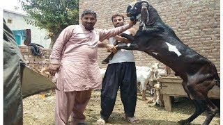 Zafar Biyopari Ka New Maal Un K Farm Pa-goats For Sale In Sahiwal Village Goats
