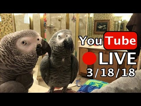 🔴🐦Einstein Parrot LIVE! 3/18/18 In the bathroom, talking and playing