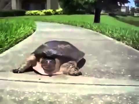 Как бегают черепахи видео