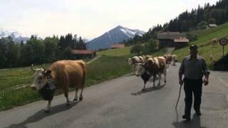 Swiss Cows in Sigriswil