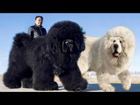 These Are 10 Fluffiest Dog Breeds Ever
