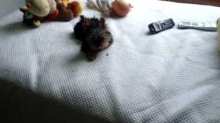 3 Month Old Yorkie Puppy Barking And Growling