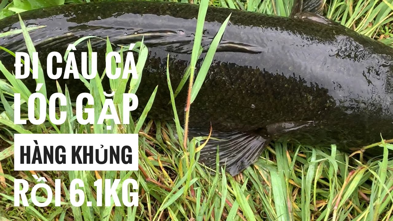 câu cá lóc/pha lên cá rất hồi hộp gặp hàng khủng 6.1kg/tý thì sẩy/snakhead fishing/TrungDũngVlog