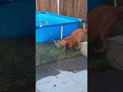 14 week old Dogue de Bordeaux  French Mastiff  water pup  puppy dog loves water