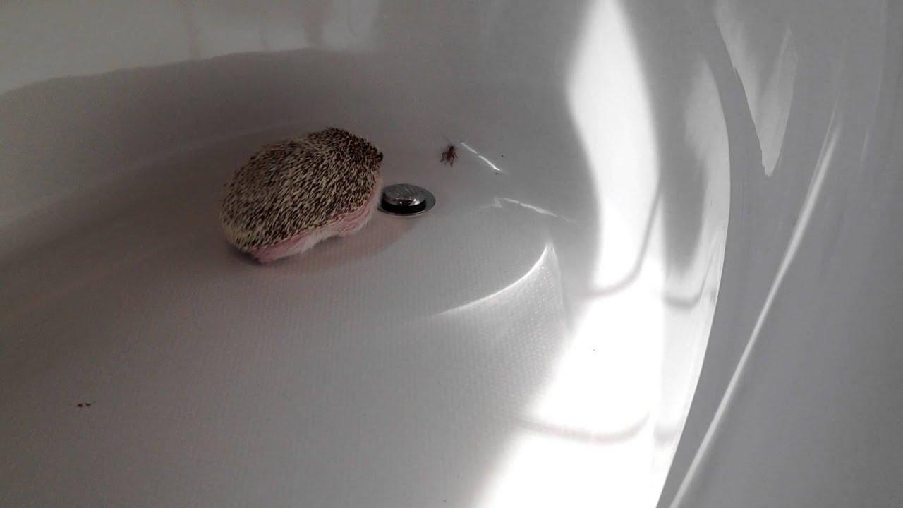 Hedgehog Thunderdome!