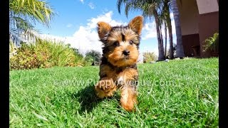 Chance Is Our Akc Yorkshire Terrier Male Puppy For Sale In Ca