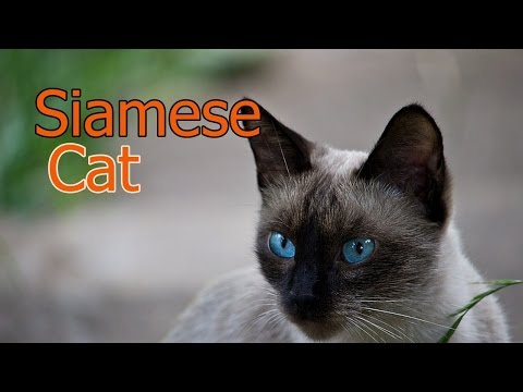 Siamese Cats ★ AnyFuns Channel
