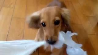 Miniature Dachshund いつも天使の様に可愛いモモが… ビニール袋を見る...