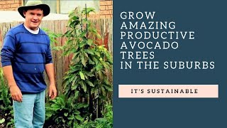 Small Space Dwarf Avocado Tree Tips From Martys Garden