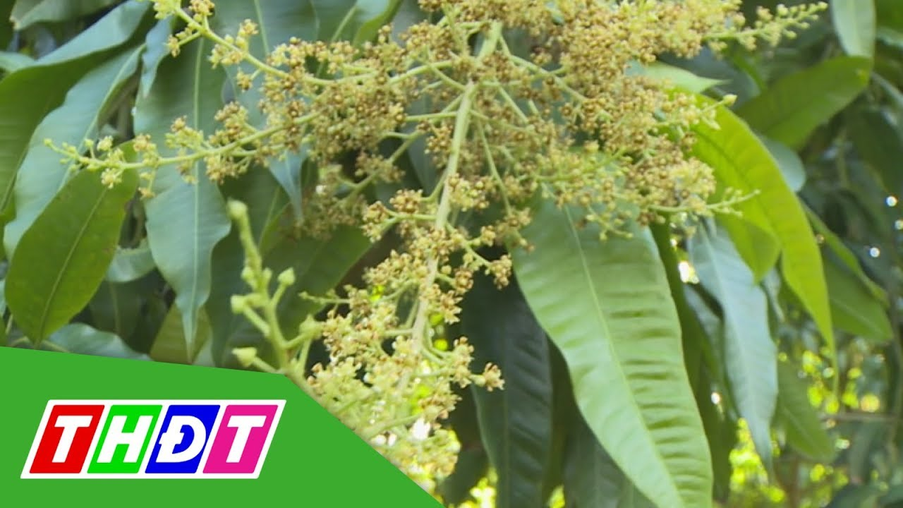 Hiệu quả phương pháp mới xử lý xoài ra hoa | Kiến thức Nông nghiệp | THDT