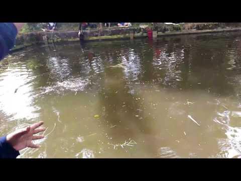 Manccing bawall kolam borongan