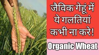 गेहूं की जैविक खेती वाले जरूर देखें|organic wheat SRI method|  jaivik gehu ki kheti kaise|hindi urdu