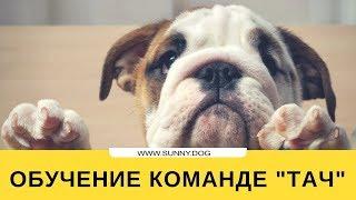 """Обучение собаки команде """"тач"""". Учим правильно."""