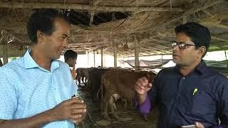 শুকনো ও বয়স্ক দেশি গাই মোটাতাজাকরন খামার, সম্ভাবনার নতুন দিগন্ত।।Aged cow farm a new root of bd..