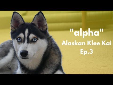 ''alpha'' Alaskan Klee Kai - Miniature Husky | Ep.3