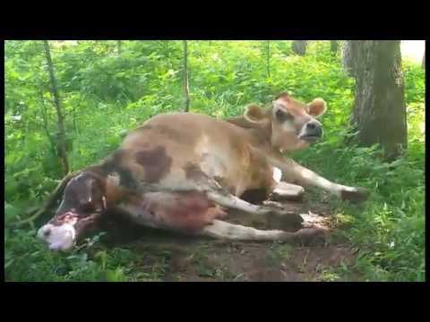 Jersey Milk Cow Giving Birth to Big Calf!