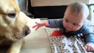Лабрадор и грудной ребёнок!