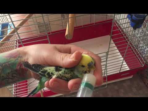 Как лечить попугая. Болезни волнистых попугаев и как за ними ухаживать.