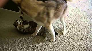 Siberian Husky And Cat Playing, Part 1