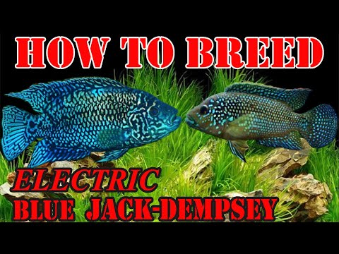 How To Breed Electric Blue Jack Dempsey?