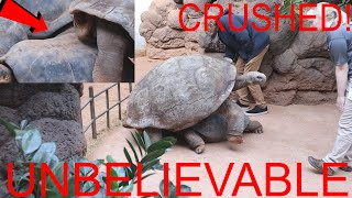 UNREAL! 700 lbs TURTLE CRUSHES female turtle during MATING at the ZOO!