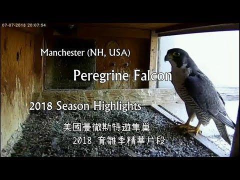 2018 Season Highlights 遊隼育雛精華影片 - Manchester, NH Peregrine Falcon