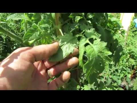Identifying Aphids On Your Tomato Plants: Clues And Inspection - TRG 2014