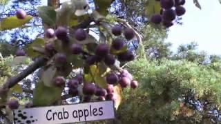 Finnish Mustamarja aronia/American Chokeberry