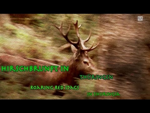 Hirschjagd in Thüringen / Roaring red stags in Thuringia