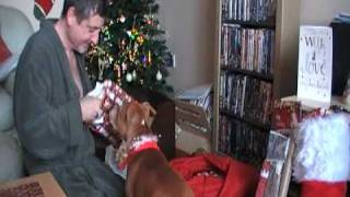 Staffordshire Bull Terrier:brody's First Christmas 2008...part 2