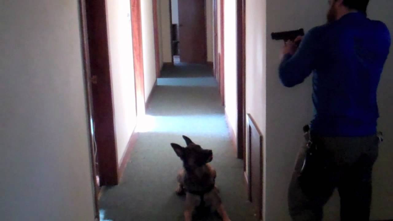 Canine Tactical Building Search Or Home Protection