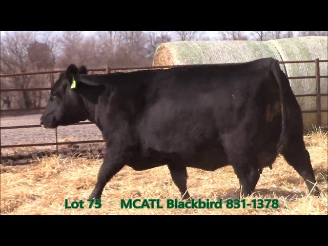 Musgrave Angus Lot 75