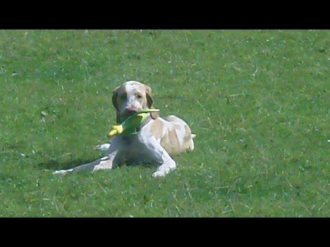 Bracco Italiano Winnie, very funny astounded at vibrating bird.