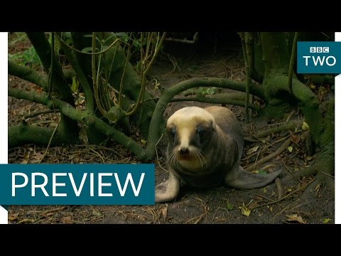 Sea Lion Mother Hides Her Baby In The Woods - New Zealand: Earth's Mythical Islands - Episode 2