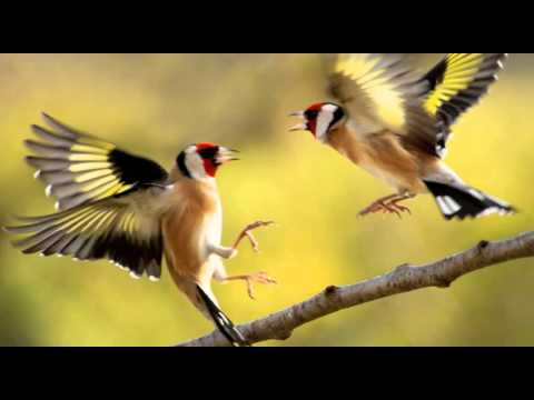 Goldfinch Singing