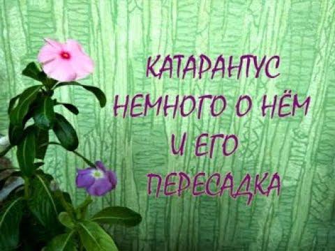 КАТАРАНТУС - цветок Богов. Комнатное цветоводство